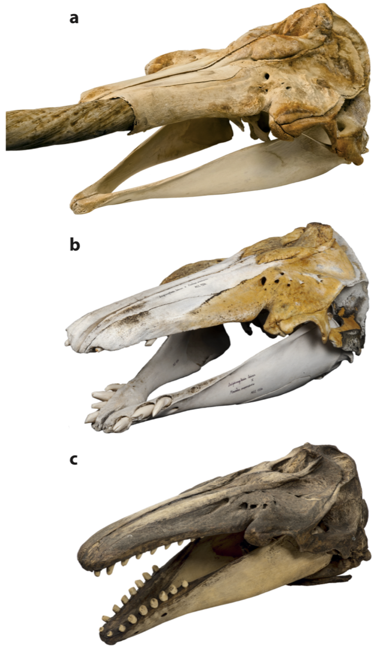 An unusual skull turns out to be the offspring of a beluga and a narwhal
