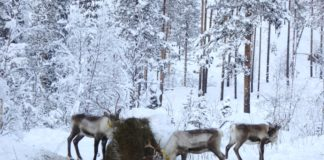 Sámi herders fear supplementary feeding is changing the nature of their livelihood