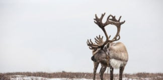 Mass starvation of reindeer linked to climate change and habitat loss