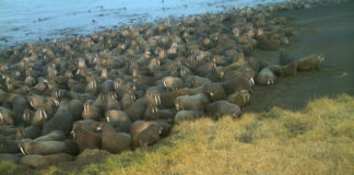 Chukchi Sea walruses are massing on shore earlier than ever