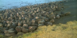 Pacific walruses are again gathering much earlier than usual at Alaska Chukchi beach sites