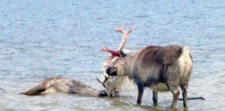 A Svalbard reindeer died after getting tangled up in plastic waste