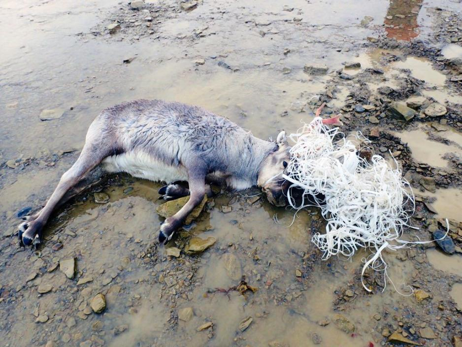 A Svalbard reindeer died after getting tangled up in plastic waste - Arctic Today