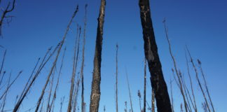 Boreal forests are losing their carbon-storing abilities as fires become more frequent