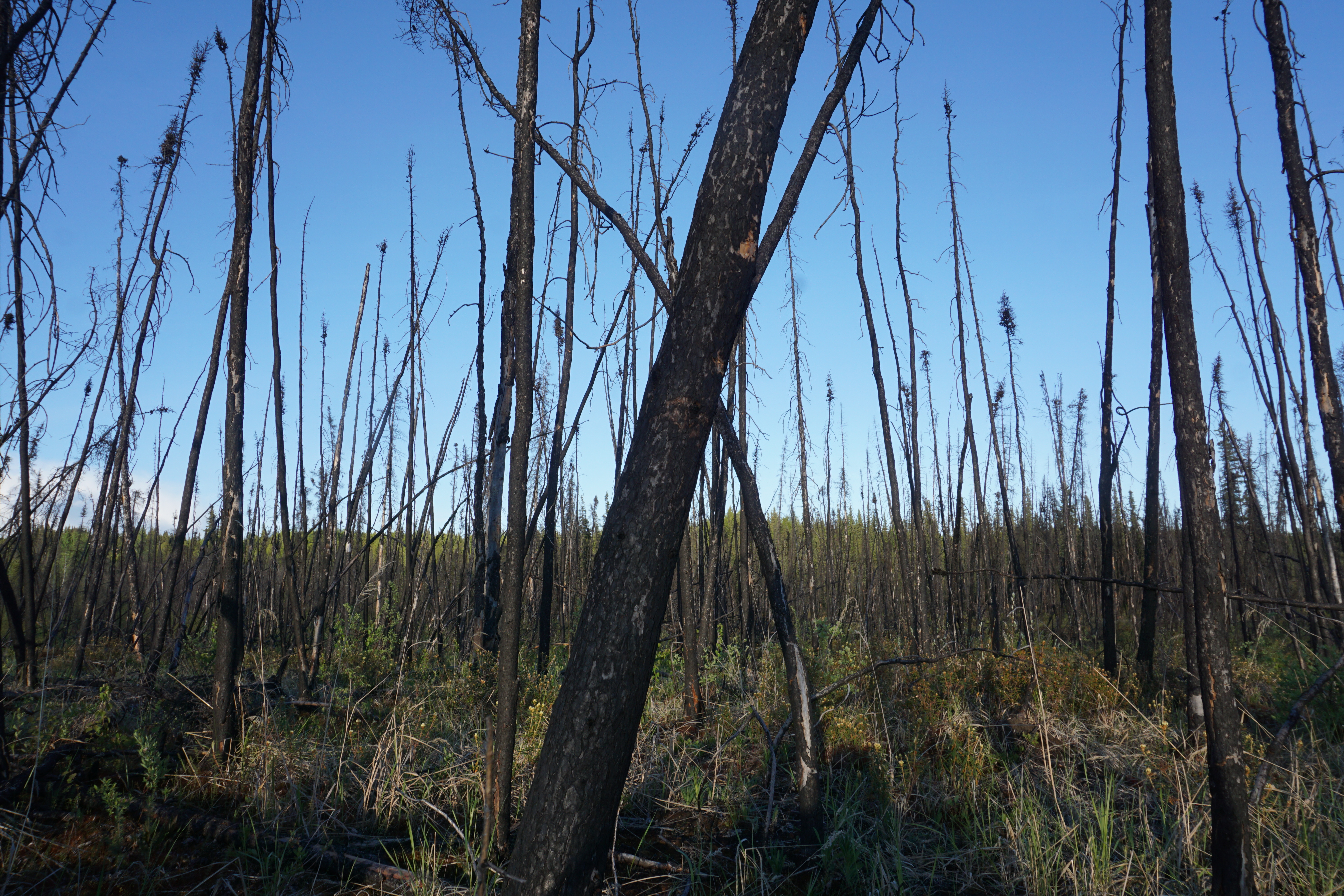 Boreal forests are losing their carbon-storing abilities as fires become more frequent - Arctic Today