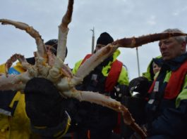 Invasive Arctic crab species in Norway are expanding to new shores