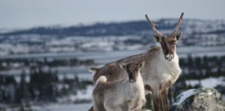Inuit organizations raise caribou concerns at mine expansion hearing