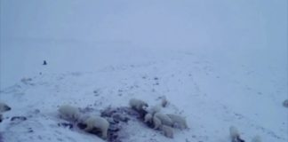With insufficient sea ice, dozens of polar bears have gathered near a town in Russia's Far East