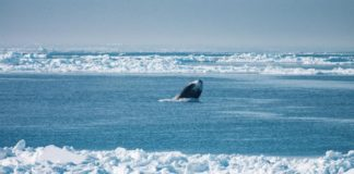 Why microbes could prove critical to understanding whales' future as Arctic sea ice recedes