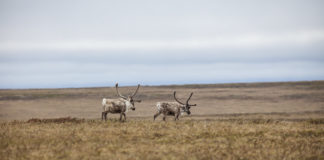 Even after decades, caribou still aren't fully used to oil development, scientists say
