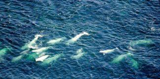 Do Ungava Bay beluga exist?