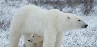 Denning polar bears need better protection from Alaska oil development, scientists say