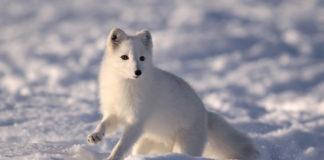 Renewed EU funding will keep a Scandinavian Arctic fox program going