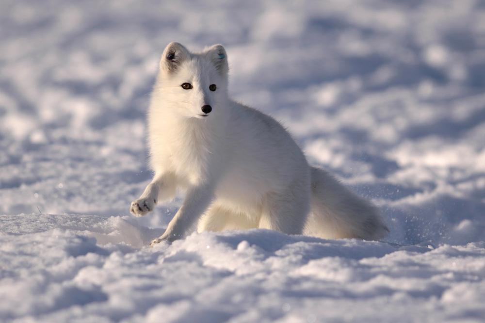 Renewed EU funding will keep a Scandinavian Arctic fox program going - ArcticToday