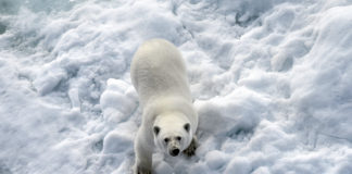 Russian researchers are seeing more cannibalism among polar bears
