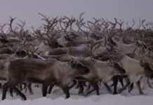 Starvation deaths loom for reindeer as huge amount of snow piles up over icy crust