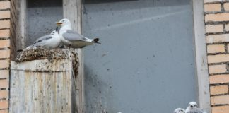 Climate refugees: Kittiwakes flee bird cliffs to resettle in urban spaces