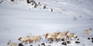 Researchers are watching the balance between Nunavik's wolves and caribou