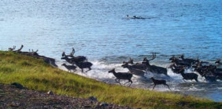 Nunavut wildlife surveys are grounded by pandemic precautions