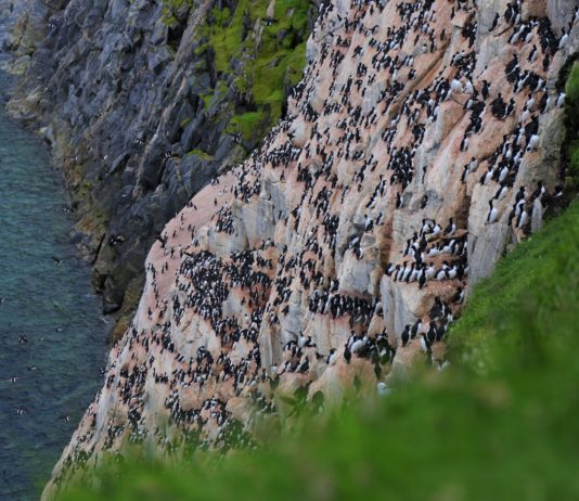 Climate change is challenging Nunavut's thick-billed murres