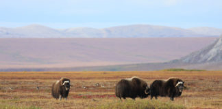 A bacterium common to farm animals is threatening the Arctic's muskoxen