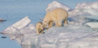 Rapid warming is probably behind a spike in mercury levels in Svalbard polar bears