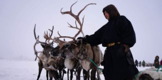 A mass program to vaccinate reindeer against anthrax is underway on the Yamal tundra