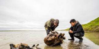 Scientists just found remarkably well-preserved woolly mammoth remains in a Russian Arctic lake