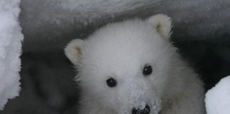 Legislation seeks to protect polar bear denning habitat in Arctic refuge