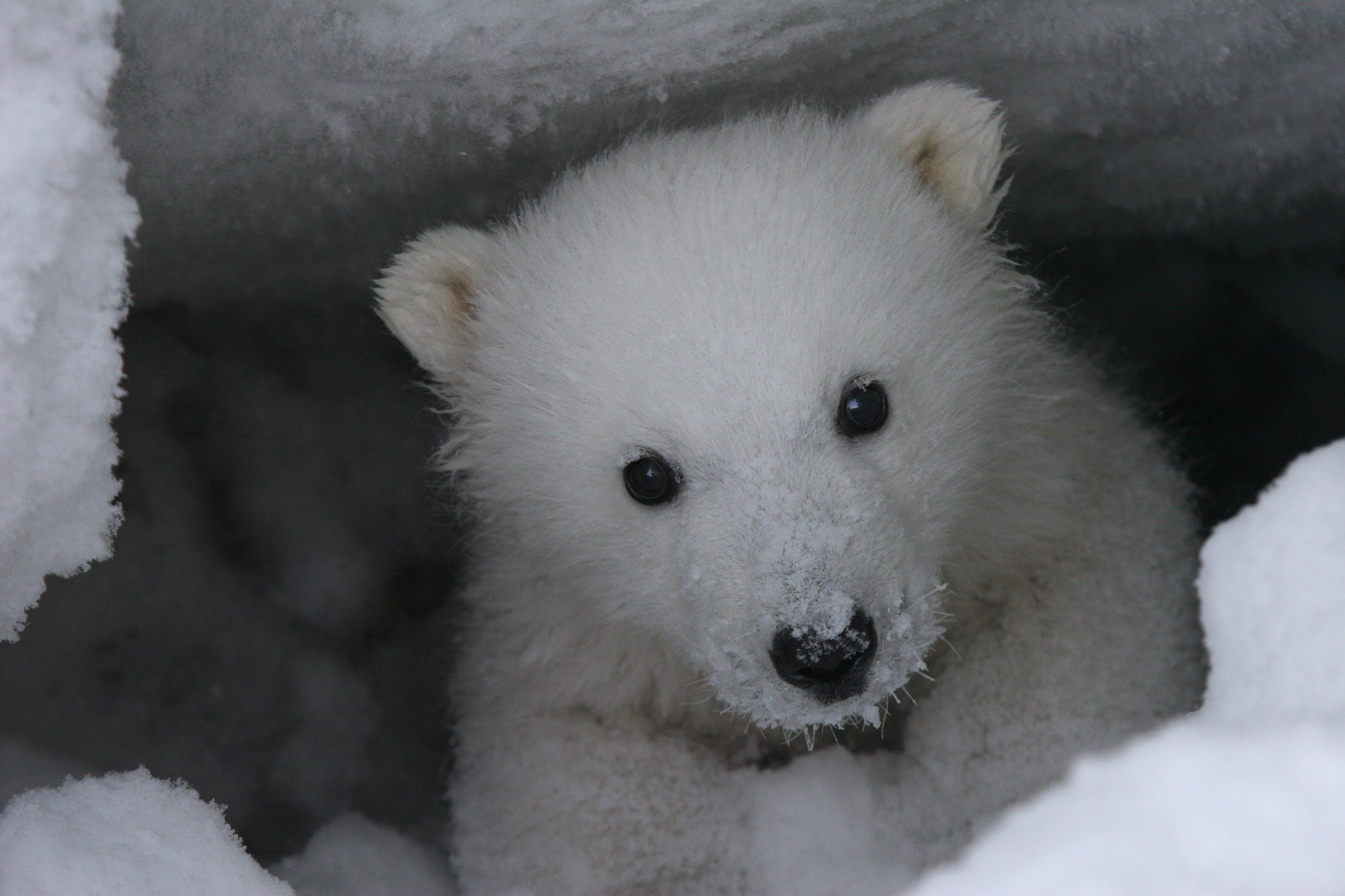 Legislation seeks to protect polar bear denning habitat in Arctic refuge - ArcticToday