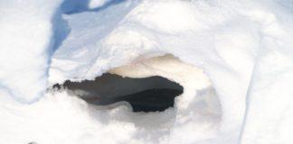 A new polar bear denning study is a mixed bag for Alaska's oil industry