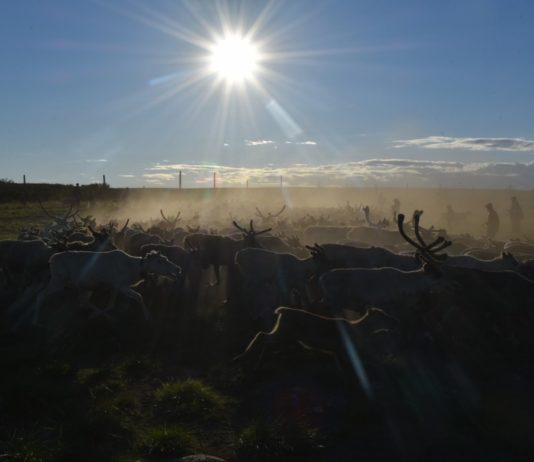 How miners' hunt for metals to power electric cars threatens Sámi reindeer herders' homeland