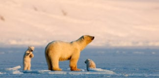 Searching for Misha: the life and tragedies of the world's most famous polar bear