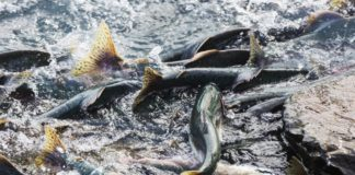 Northern fish are tough, but climate change is causing some to dwindle