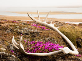 What old caribou antlers in Alaska's Arctic refuge can tell researchers about historic migrations