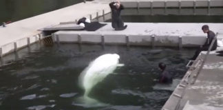 Formerly captive beluga whales are released into Iceland's open-water sanctuary
