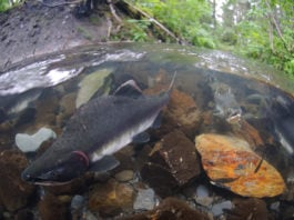 Warming conditions are making northern Bering Sea more friendly for pink salmon