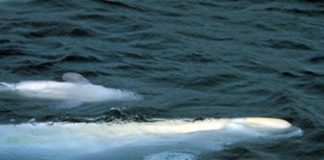 Nunavik's new beluga harvest plan waits for DFO's green light
