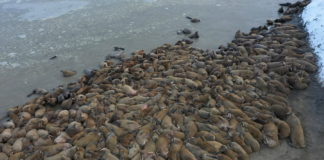 Scientists have discovered a huge walrus haulout in the Russian Arctic