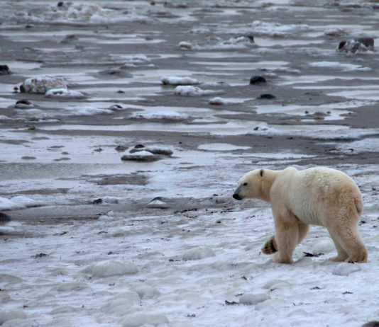 How a Canadian town hopes to use radar to warn of approaching polar bears