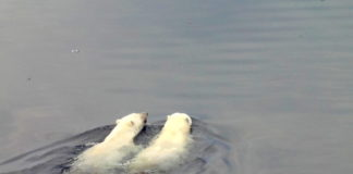 Receding sea ice is making some Nunavut polar bear populations fatter — for now