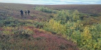 How tall tundra shrubs reveal the hidden presence of permanently thawed tundra soil