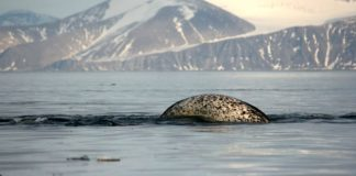 Increased shipping stressing out narwhals, say researchers