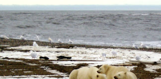 Beaufort Sea polar bears are declining in a stair-step pattern