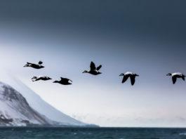 How Arctic sea ducks develop herd immunity from avian cholera
