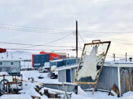 Unsellable polar bear hides travel back from auction house to Nunavut