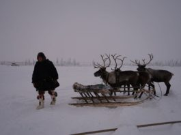 Tens of thousands of reindeer starve in Russia, as thick ice hampers tundra grazing