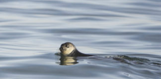Canada considers listing ringed seals under Species at Risk Act