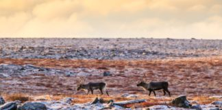 Kivalliq org urges hunters not to waste meat