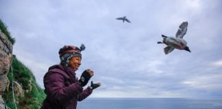 Arctic seabirds are vulnerable to rising temperatures, a new study finds